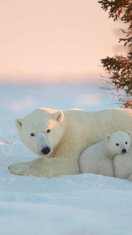 Fondos de pantalla Oso polar con osos bebés Vertical