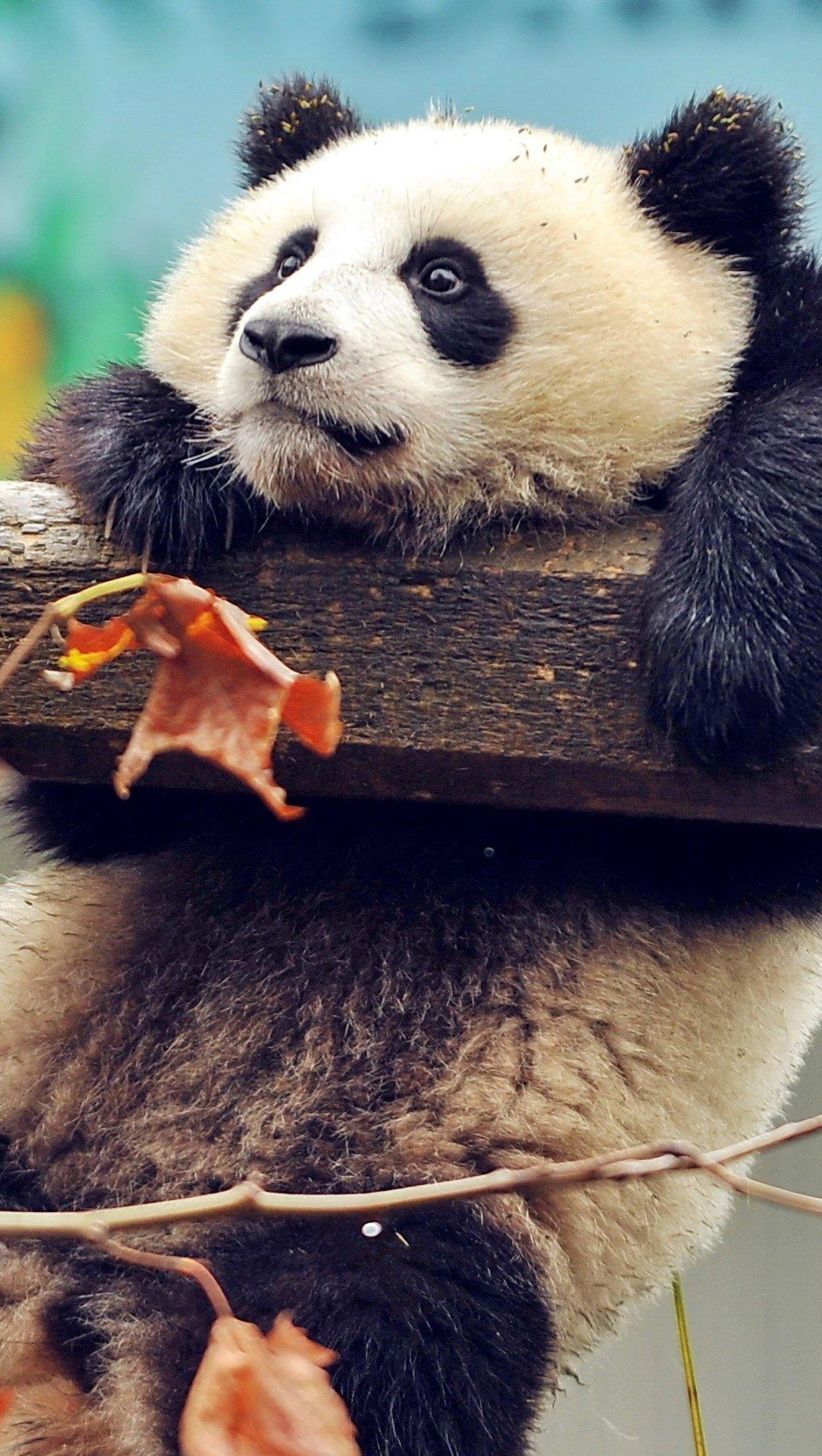 Fondos de pantalla Panda agarrado de una rama Vertical