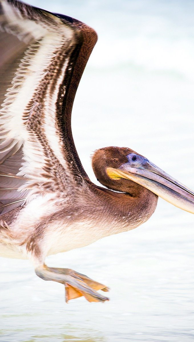 Wallpaper Pelican of water Vertical