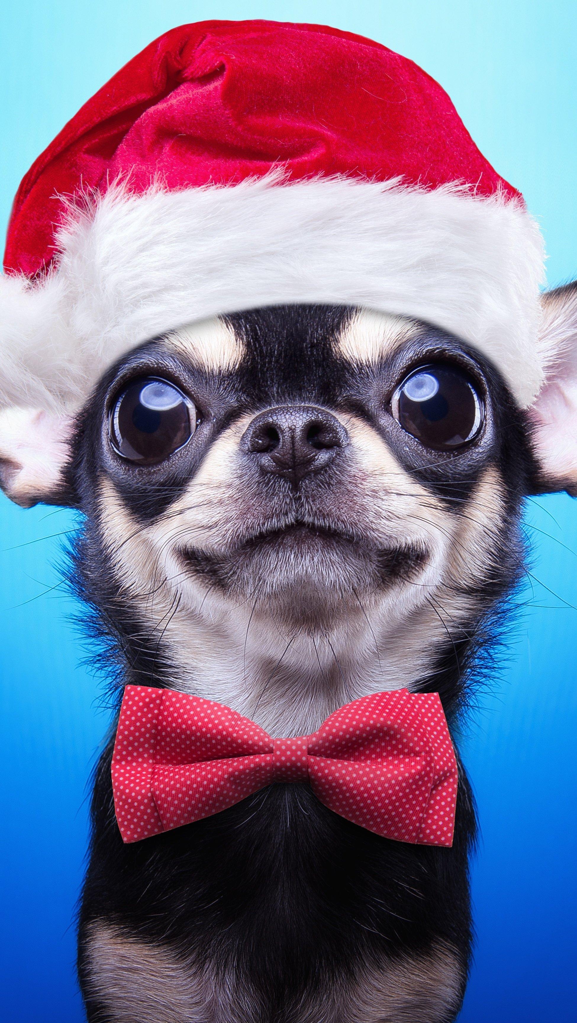 Fondos de pantalla Perro Chihuahua con Gorro de Navidad Vertical