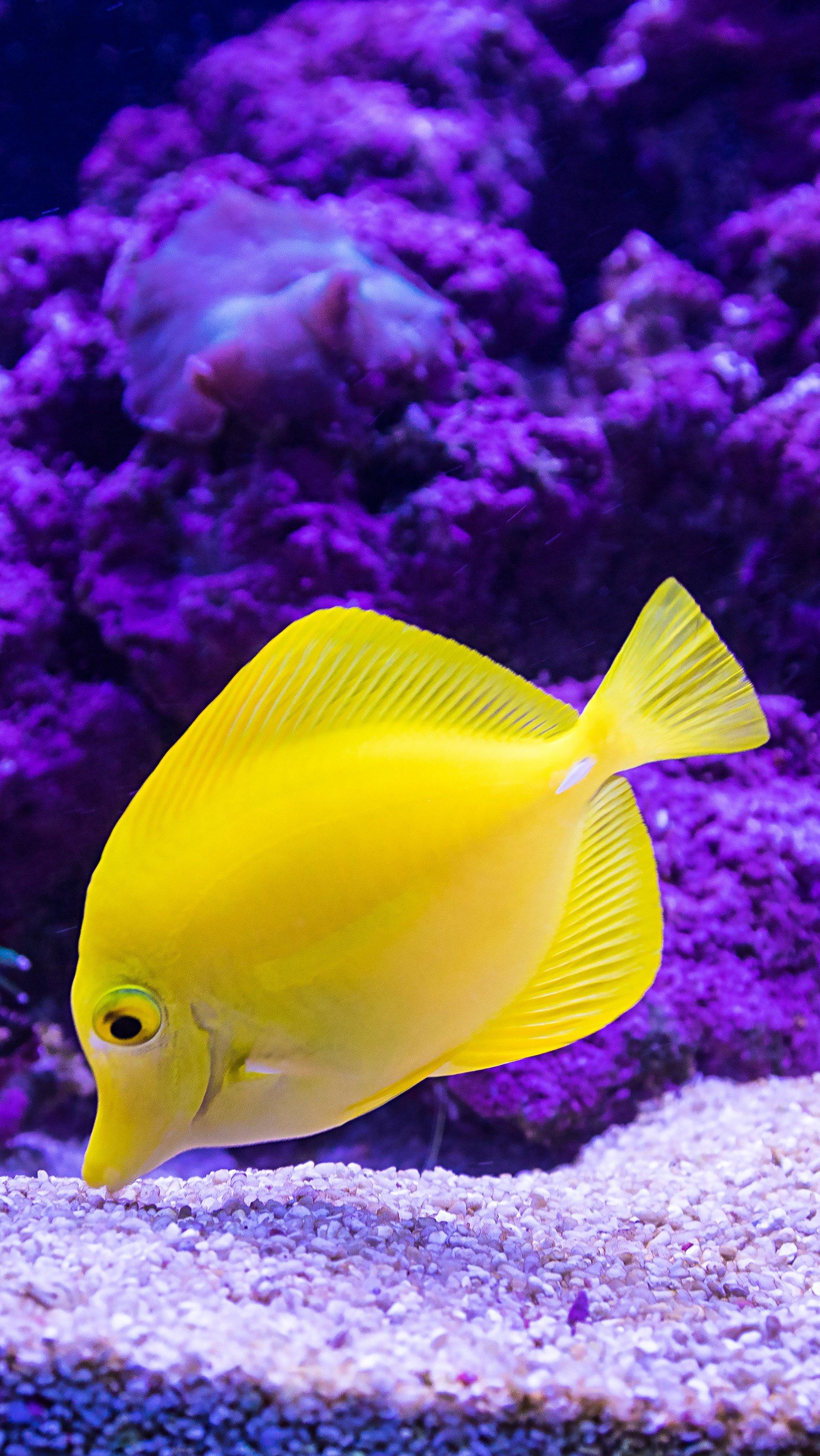 Wallpaper Yellow fish Vertical
