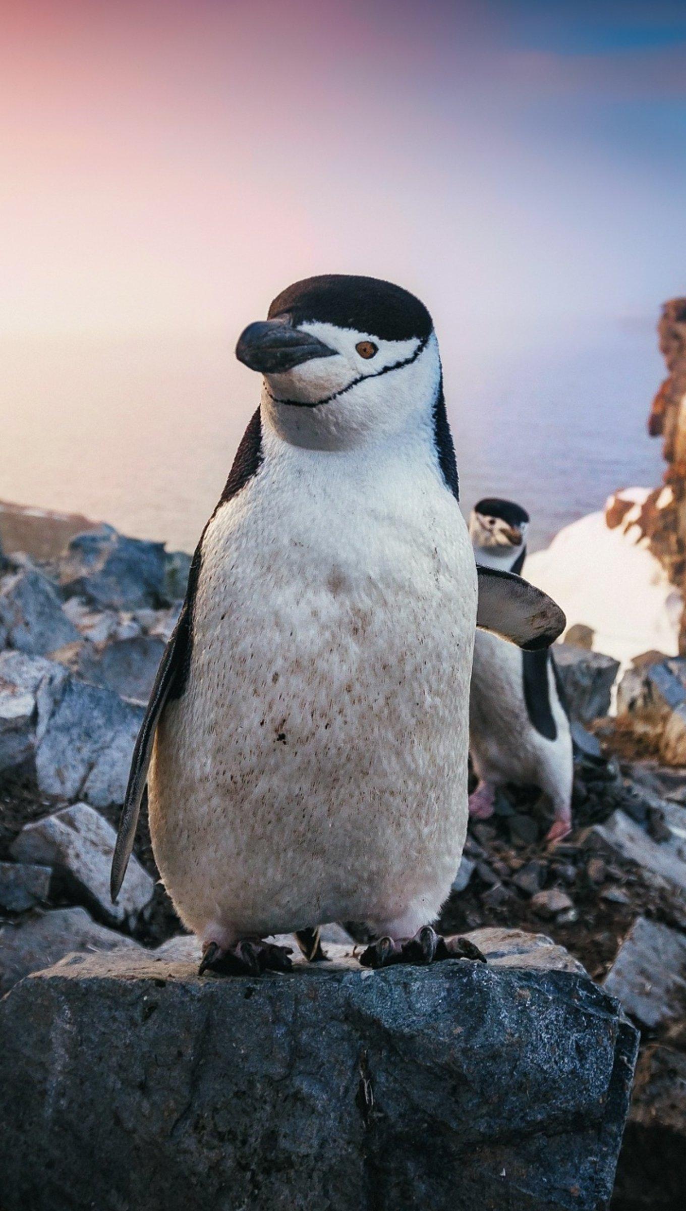 Fondos de pantalla Pingüinos al atardecer Vertical