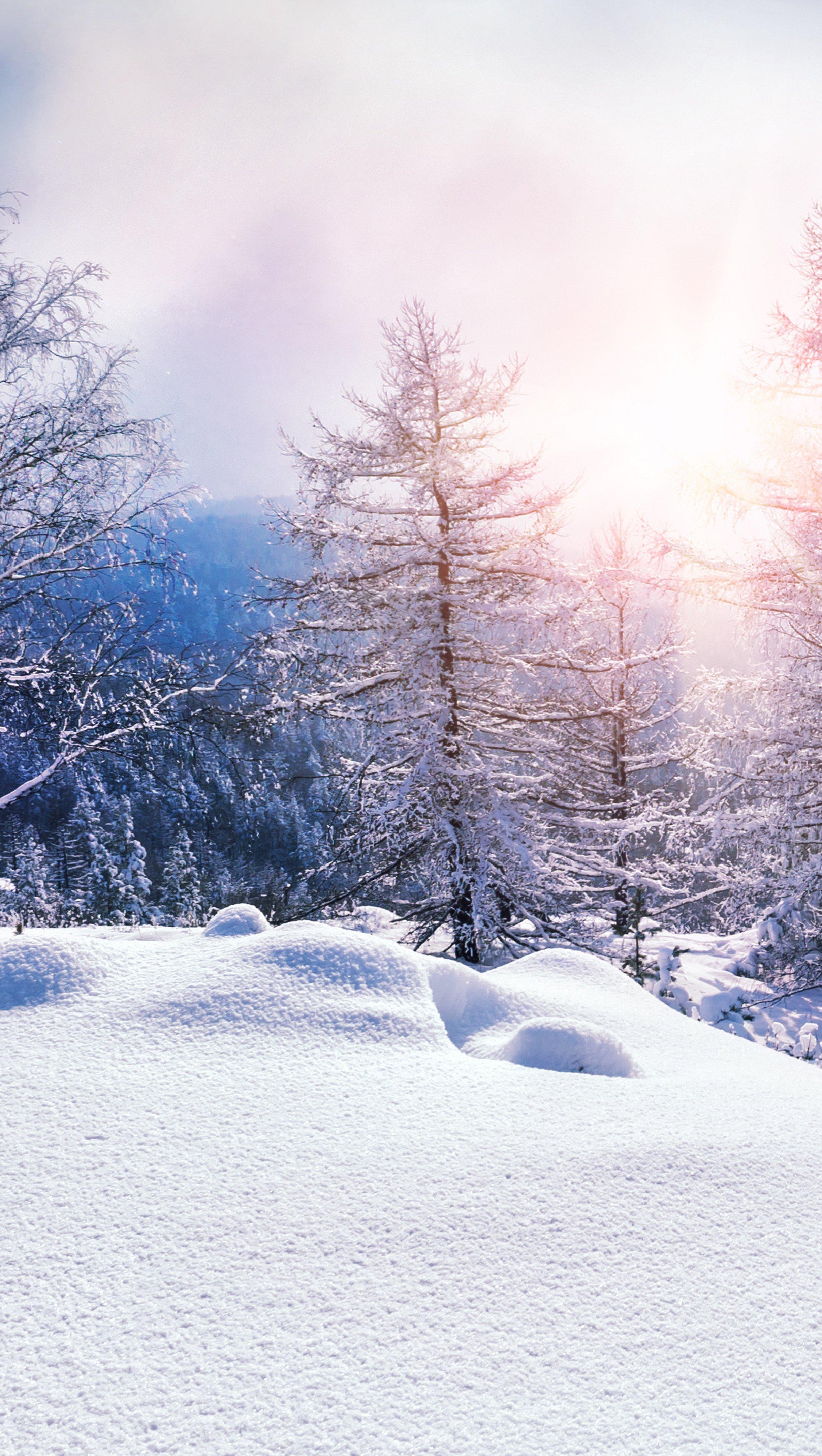 Fondos de pantalla Pinos en invierno al atardecer Vertical