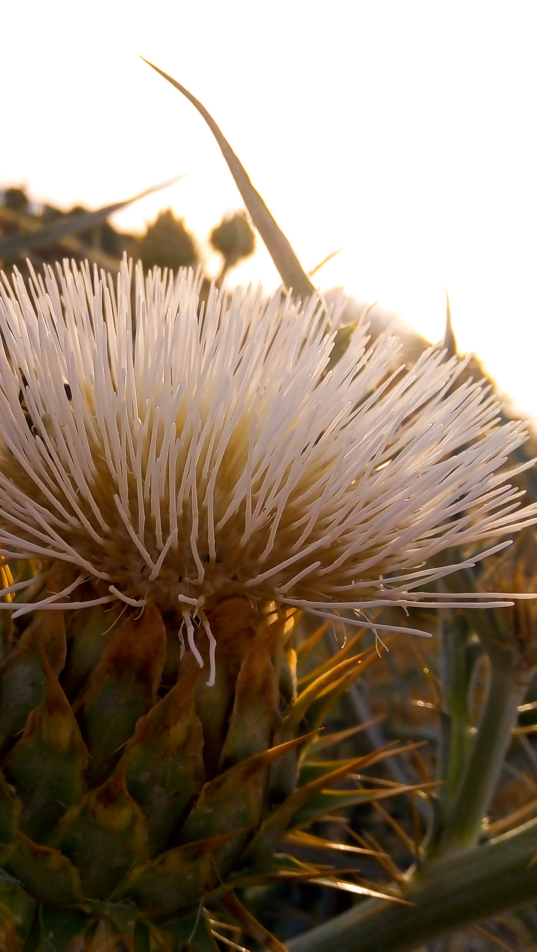 Wallpaper Cynara scolymus plant Vertical