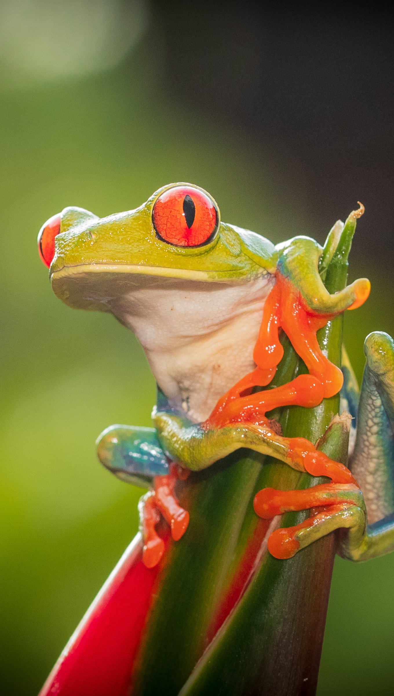 Wallpaper Red eye tree frog Vertical