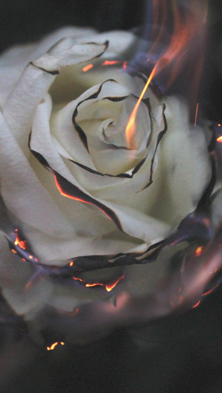 Fondos de pantalla Rosa blanca en fuego Vertical