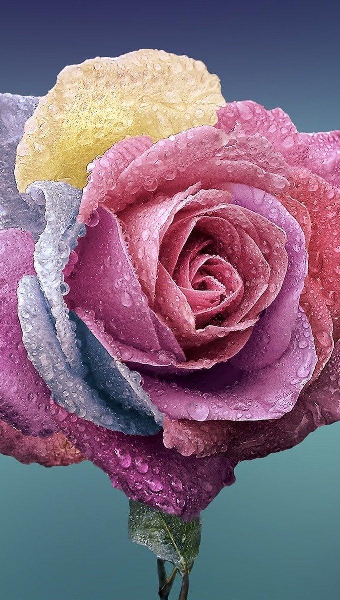 Fondos de pantalla Rosa de colores Vertical