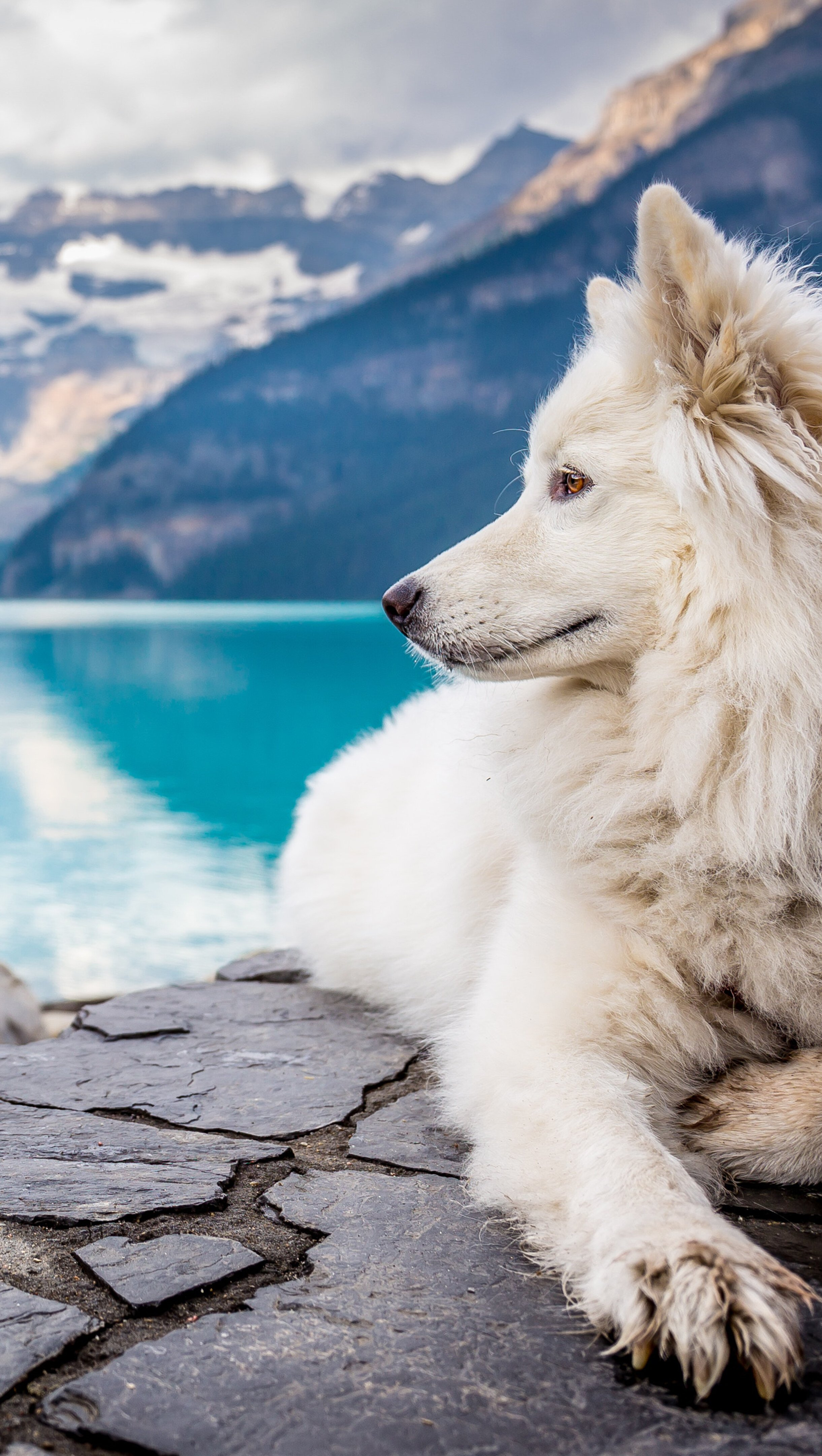 Wallpaper Samoyed in lake and mountains Vertical