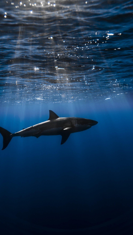 Fondos de pantalla Tiburón en el agua Vertical