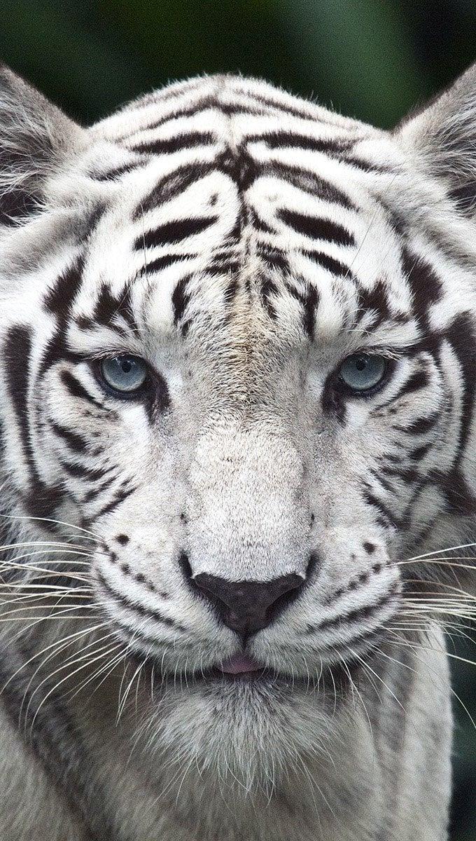 Fondos de pantalla Tigre blanco Vertical