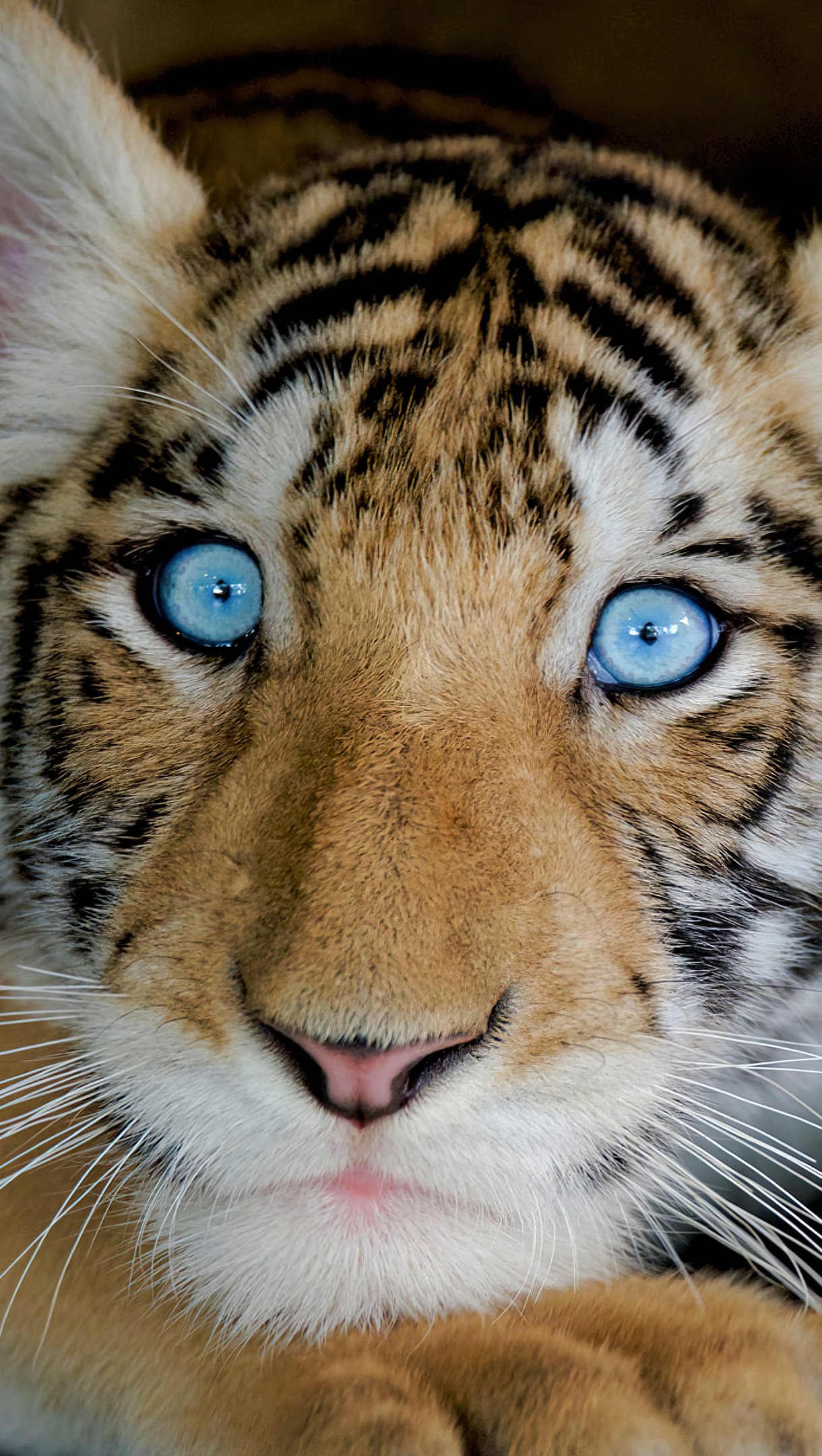 Fondos de pantalla Tigre con ojos azules Vertical