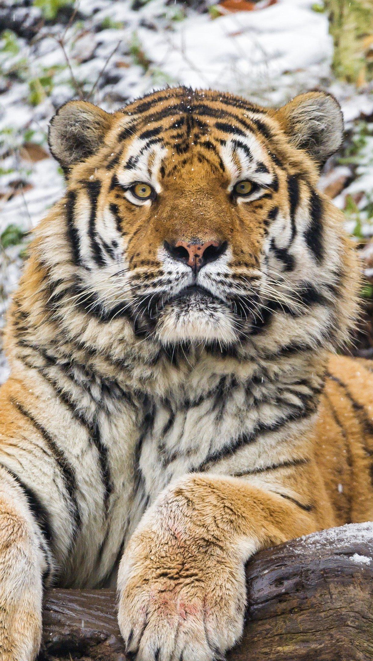 Fondos de pantalla Tigre de Amur Vertical