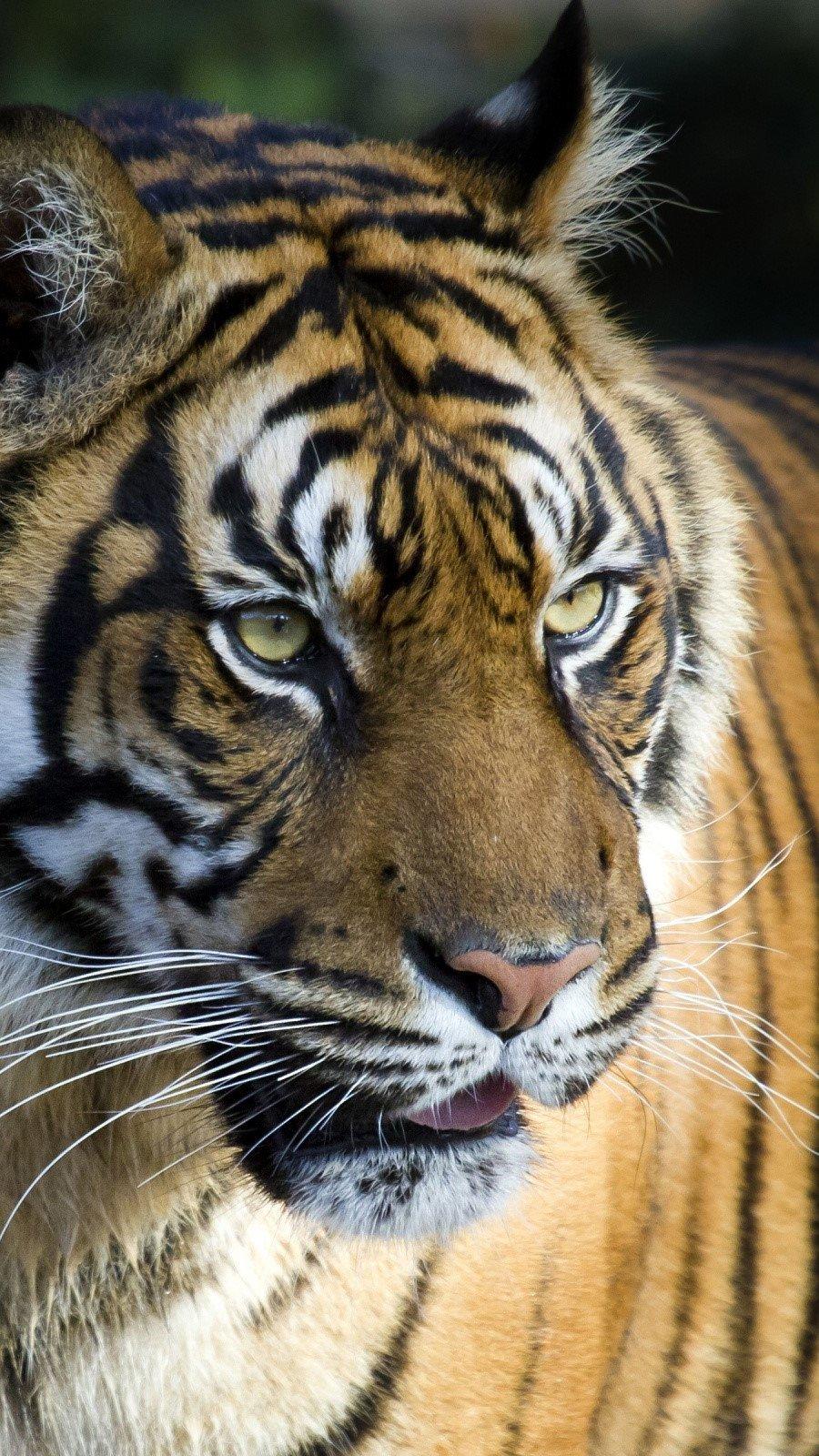 Wallpaper Bengal tiger Vertical