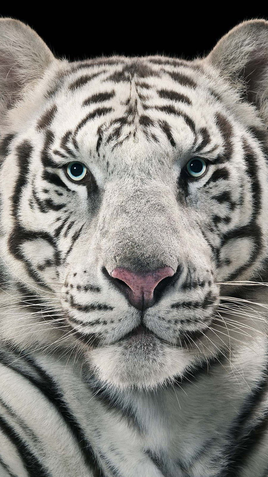 Wallpaper White Bengal Tiger Vertical