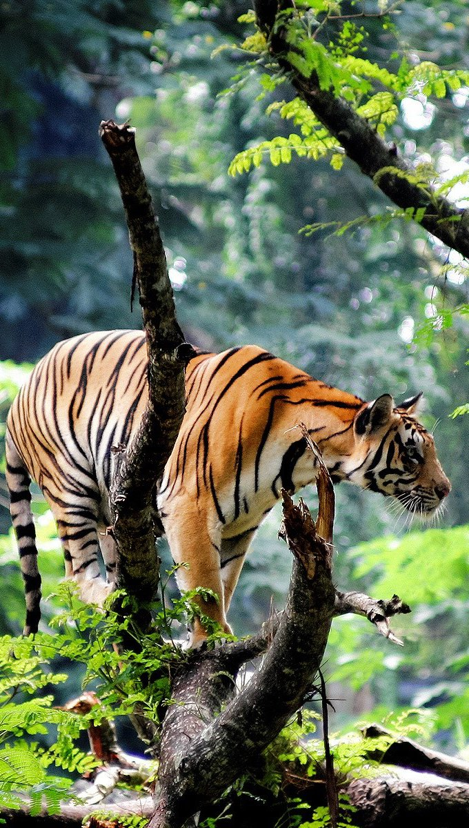 Wallpaper Bengal tiger in the jungle Vertical