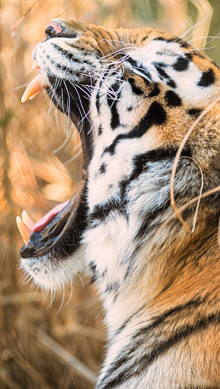 Fondos de pantalla Tigre rugiendo Vertical