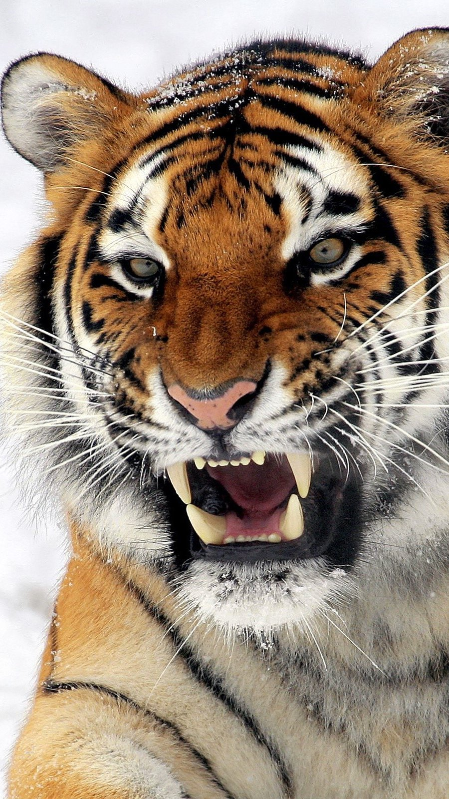 Wallpaper Wild tiger Vertical