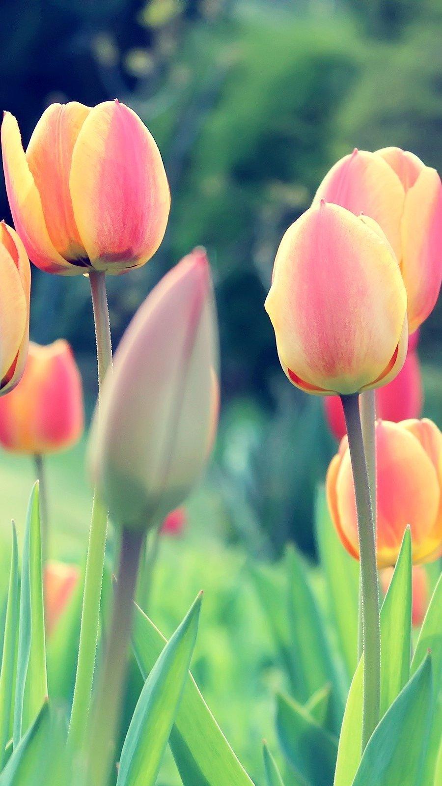 Wallpaper Tulips Vertical