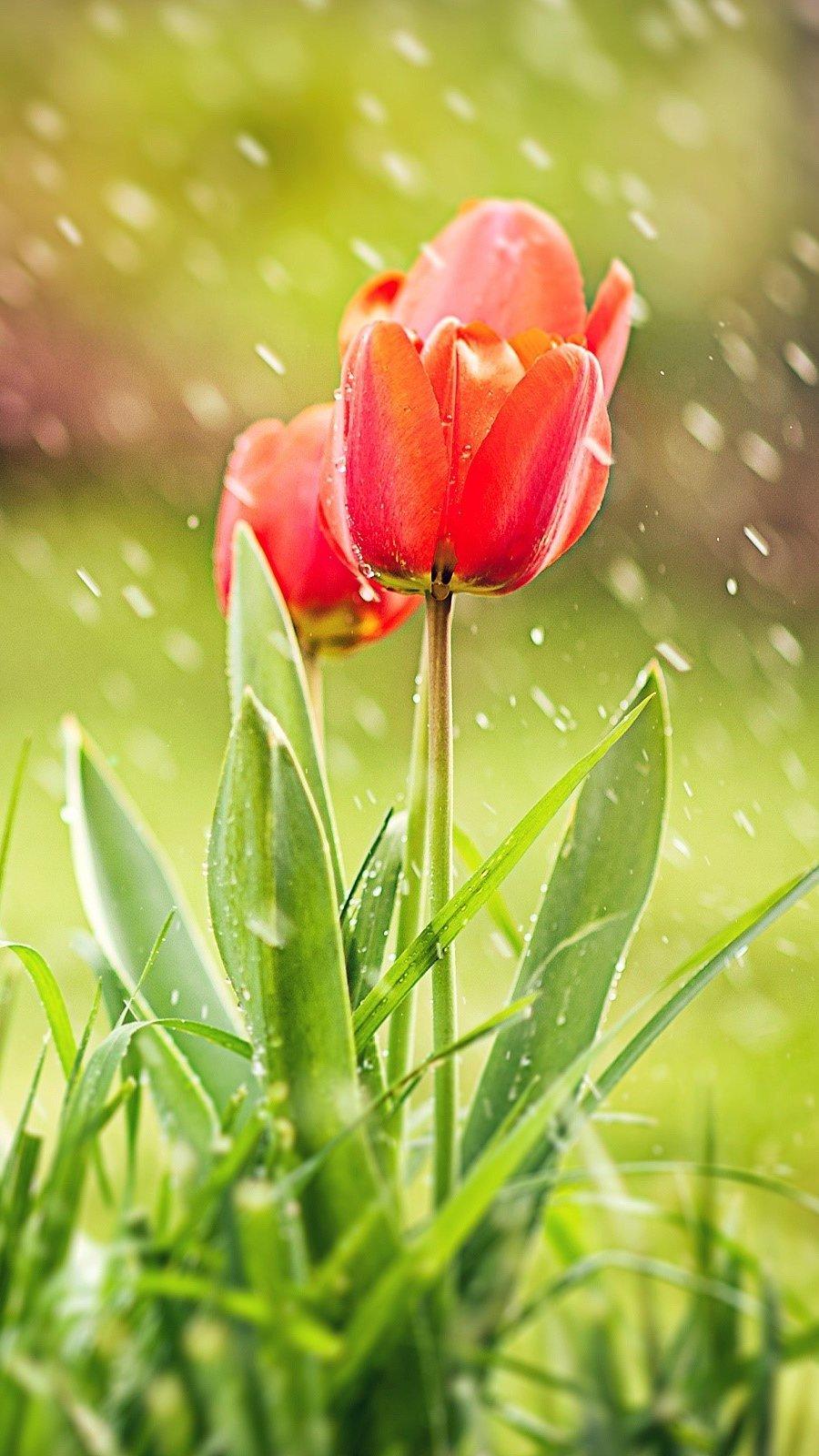 Wallpaper Tulips in the rain Vertical