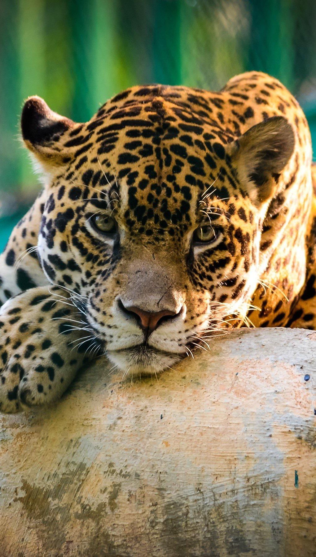 Wallpaper A jaguar in Mexico Vertical