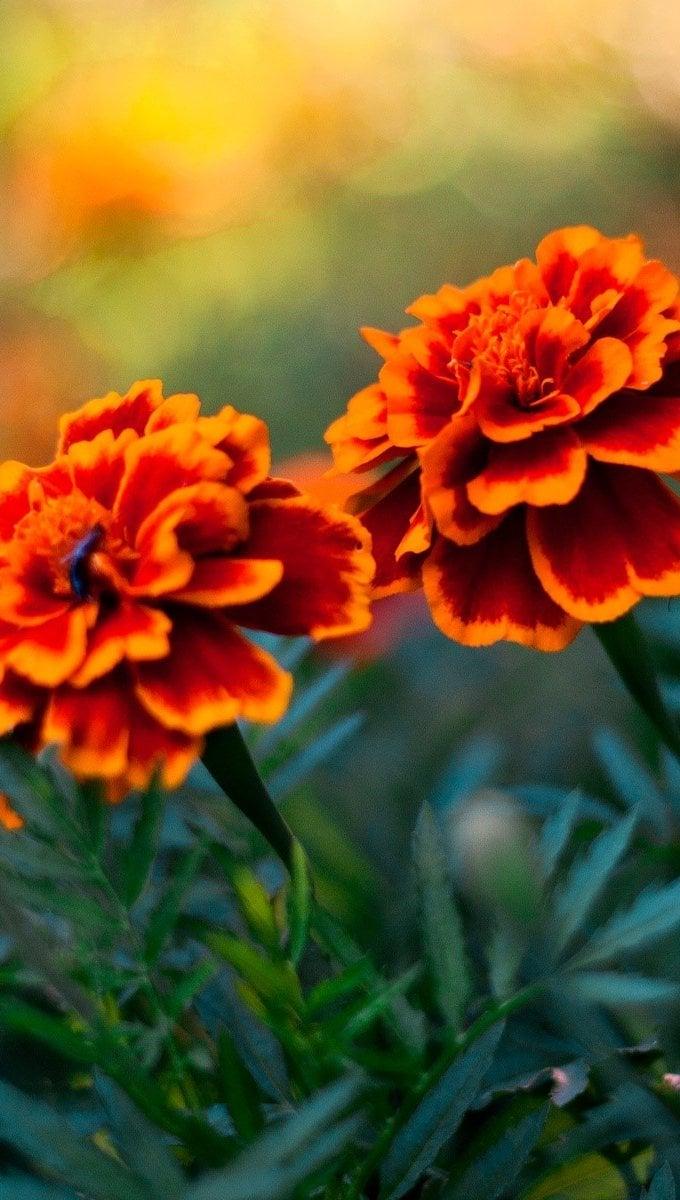 Fondos de pantalla Un par de flores Vertical