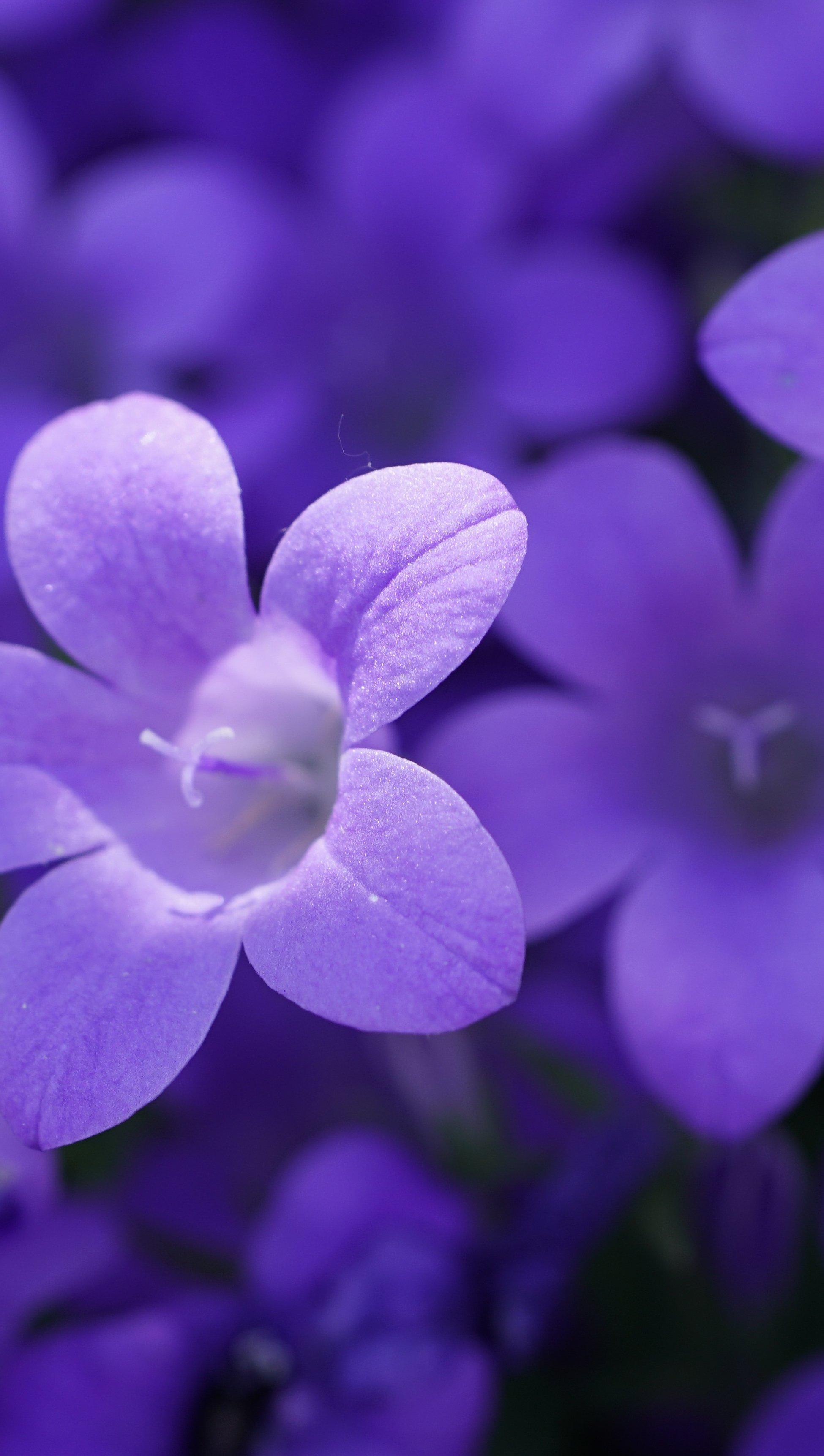 Fondos de pantalla Violetas Vertical